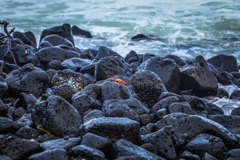 Ilhas Galápagos - 25 de agosto de 2017: Caranguejos do Sally Vermelho na praia da Ilha de Isabela, Ilhas Galápagos, Equador imagens de stock