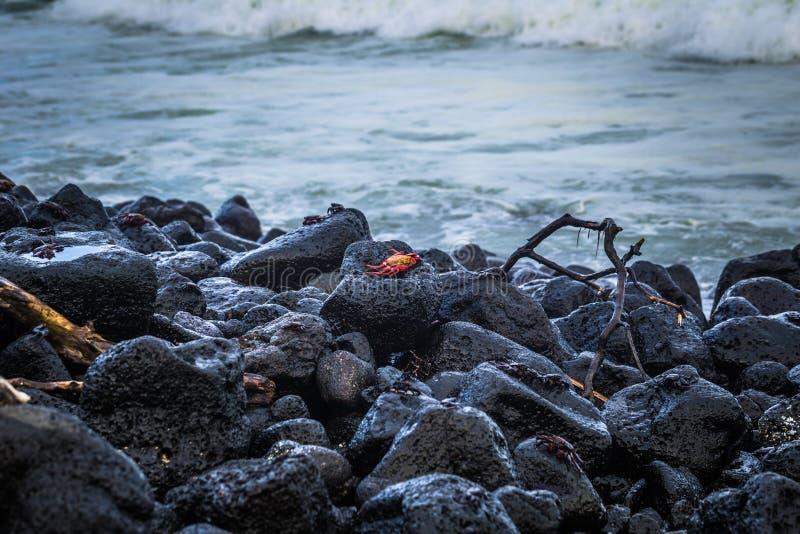 Ilhas Galápagos - 25 de agosto de 2017: Caranguejos do Sally Vermelho na praia da Ilha de Isabela, Ilhas Galápagos, Equador imagem de stock royalty free