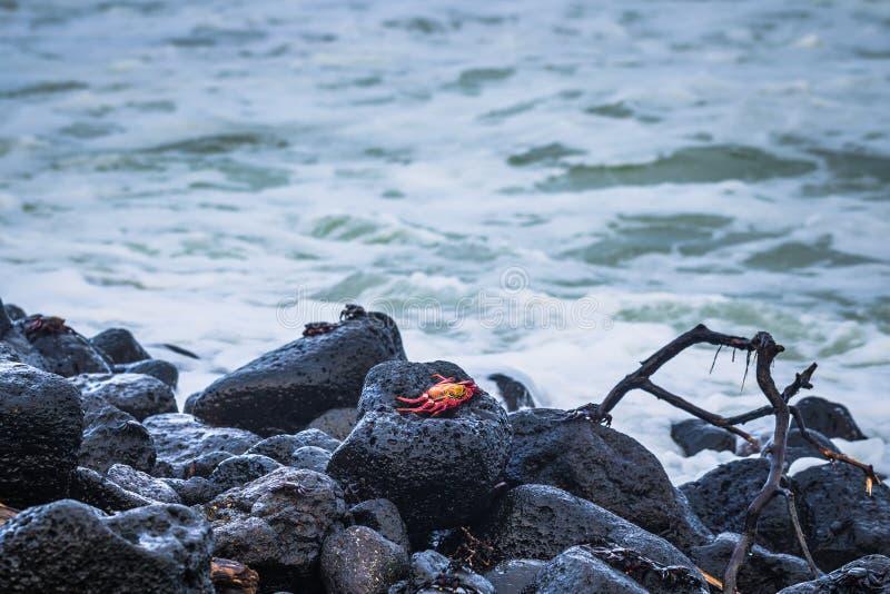 Ilhas Galápagos - 25 de agosto de 2017: Caranguejos do Sally Vermelho na praia da Ilha de Isabela, Ilhas Galápagos, Equador foto de stock royalty free