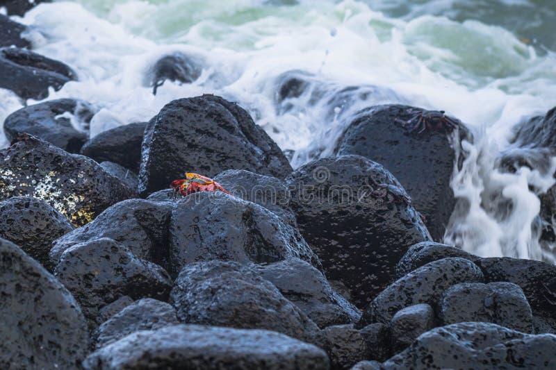 Ilhas Galápagos - 25 de agosto de 2017: Caranguejos do Sally Vermelho na praia da Ilha de Isabela, Ilhas Galápagos, Equador imagens de stock royalty free