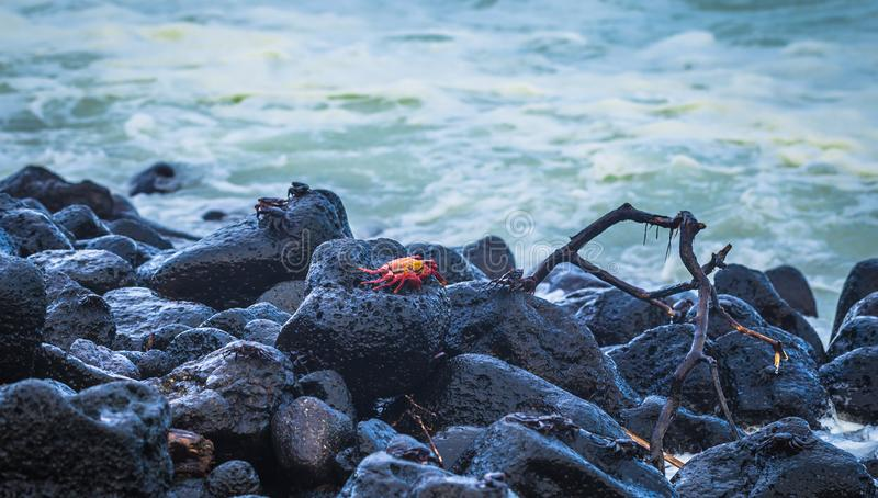 Ilhas Galápagos - 25 de agosto de 2017: Caranguejos do Sally Vermelho na praia da Ilha de Isabela, Ilhas Galápagos, Equador fotografia de stock