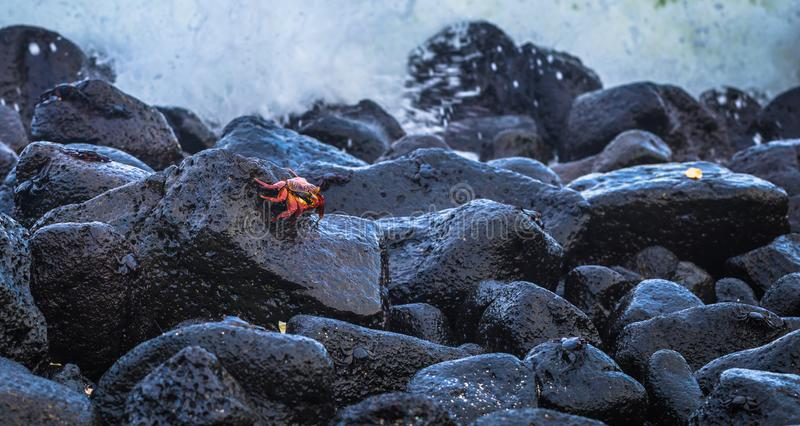 Ilhas Galápagos - 25 de agosto de 2017: Caranguejos do Sally Vermelho na praia da Ilha de Isabela, Ilhas Galápagos, Equador fotos de stock royalty free