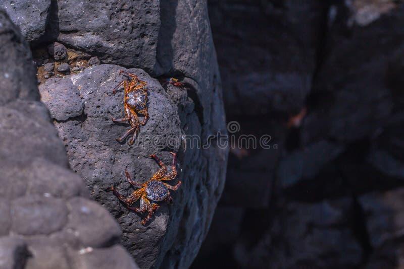 Ilhas Galápagos - 24 de agosto de 2017: Caranguejos na costa da ilha de Plaza Sur, Ilhas Galápagos, Equador fotos de stock