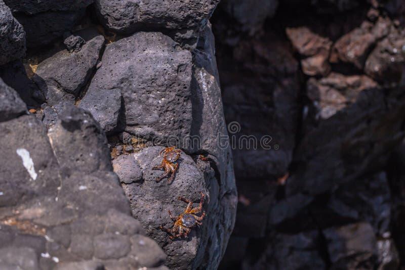 Ilhas Galápagos - 24 de agosto de 2017: Caranguejos na costa da ilha de Plaza Sur, Ilhas Galápagos, Equador foto de stock royalty free