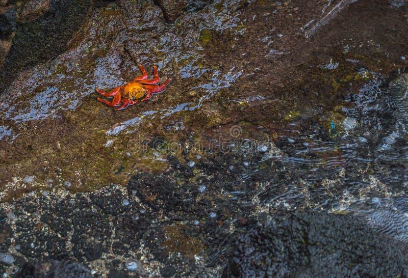 Ilhas Galápagos - 24 de agosto de 2017: Caranguejos de Sally Lightfoot em Puerto Ayora, Ilhas Galápagos, Equador imagem de stock royalty free