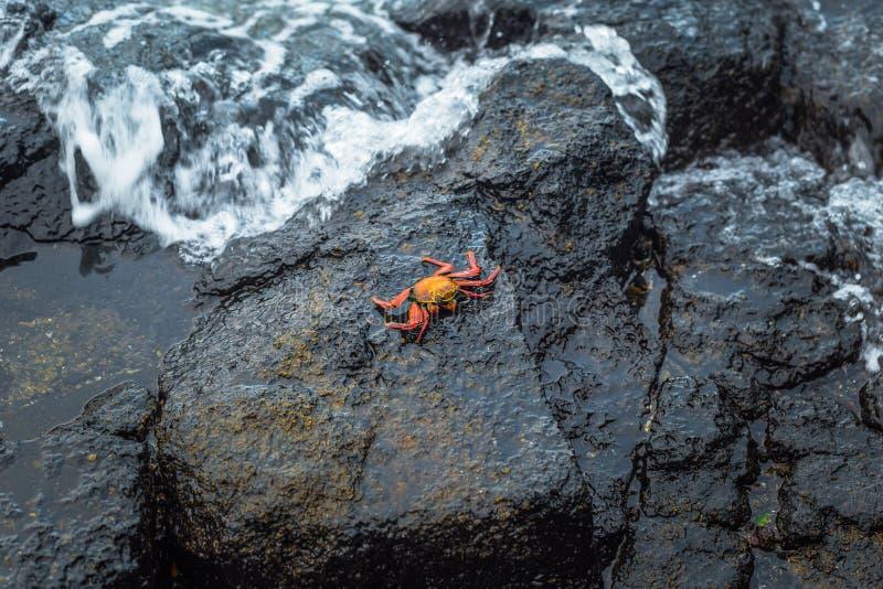 Ilhas Galápagos - 24 de agosto de 2017: Caranguejos de Sally Lightfoot em Puerto Ayora, Ilhas Galápagos, Equador foto de stock