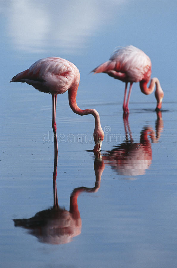 Ilhas Galápagos de Equador dois maiores flamingos que estão na opinião lateral da água pouco profunda fotografia de stock royalty free