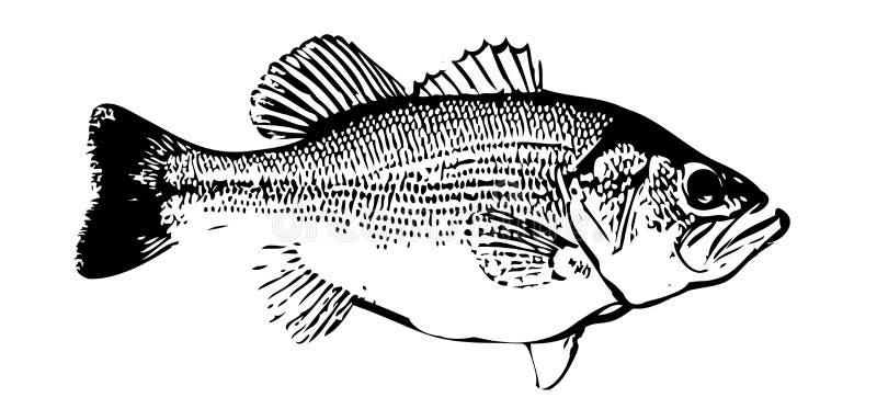 IlIlustration de peixes baixos largemouth no backgorund branco ilustração royalty free