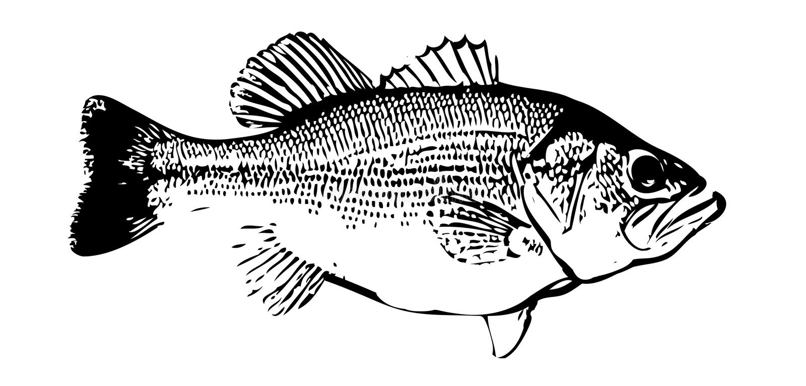IlIlustration of largemouth bass fish on white backgorund royalty free illustration