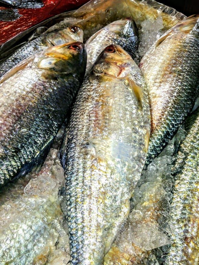 Ilisha, um tipo popular de peixe a nordeste da índia e Bangladesh imagens de stock royalty free
