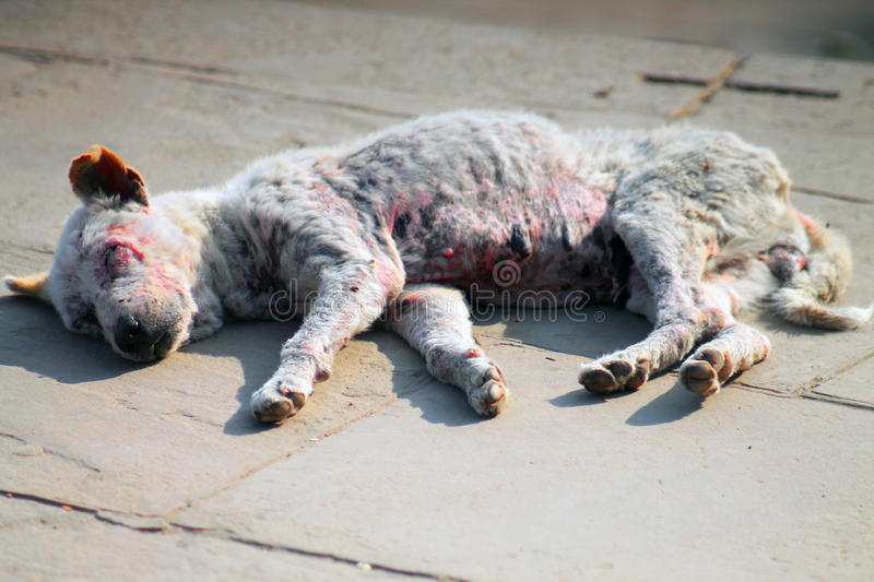 Download Ill dying dog in India stock image. Image of ebola, famine - 39503653