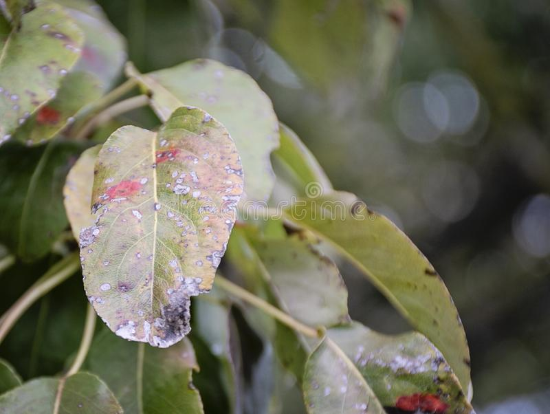 Ill pear leaves. Fungal disease. Orange spots on pear tree. Rust - disease of a pear. Pear leaf with Gymnosporangium sabinae royalty free stock images