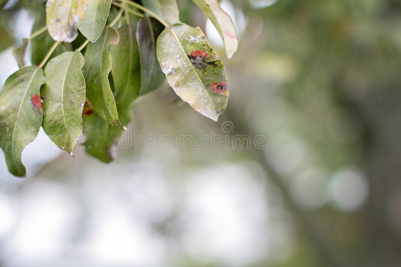 Ill pear leaves. Fungal disease. Orange spots on pear tree. Rust - disease of a pear. Pear leaf with Gymnosporangium sabinae stock images