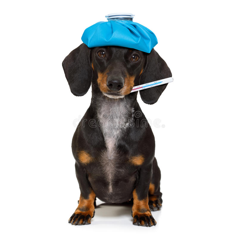 Ill sick dog with illness stock photo