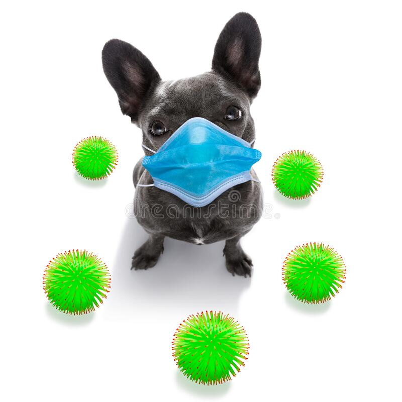 Ill sick dog with illness and face mask , cornavirus all over royalty free stock photos