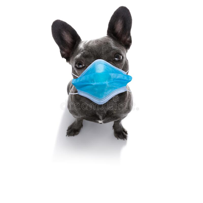 Ill sick dog with illness and face mask , cornavirus all over stock image