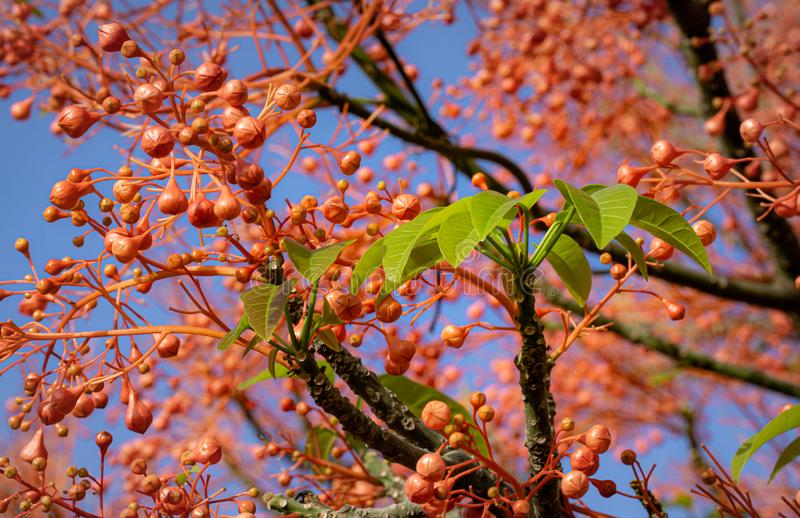 Illawarra flame tree with green leaves stock photos