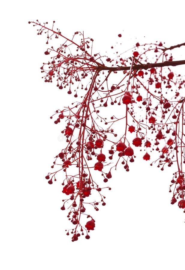 Free Illawarra Flame Tree Flowers Stock Image - 74494821