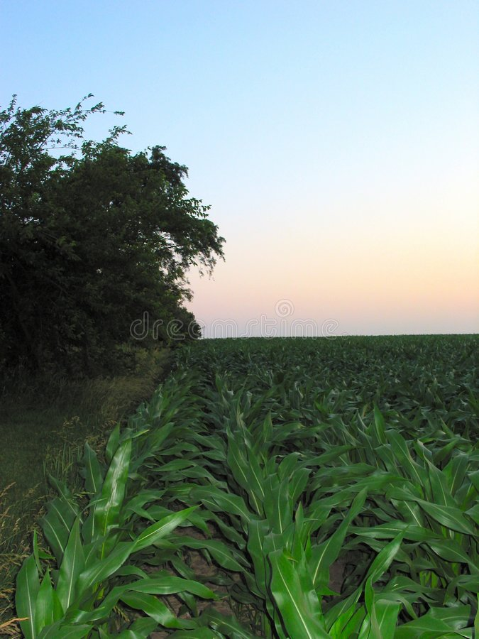 Download Illinois Corn – 9 stock image. Image of central, rossville - 11033