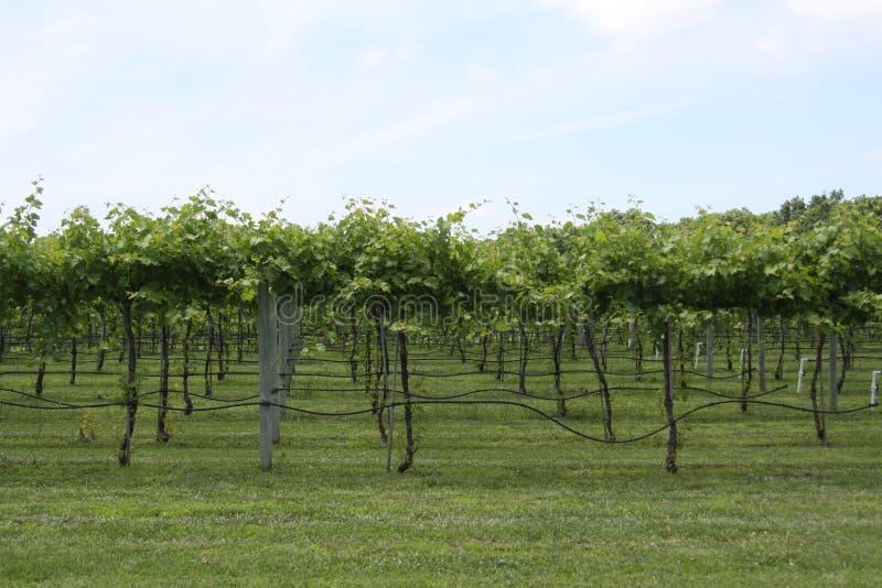 Illinois vingård 2019 royaltyfri fotografi