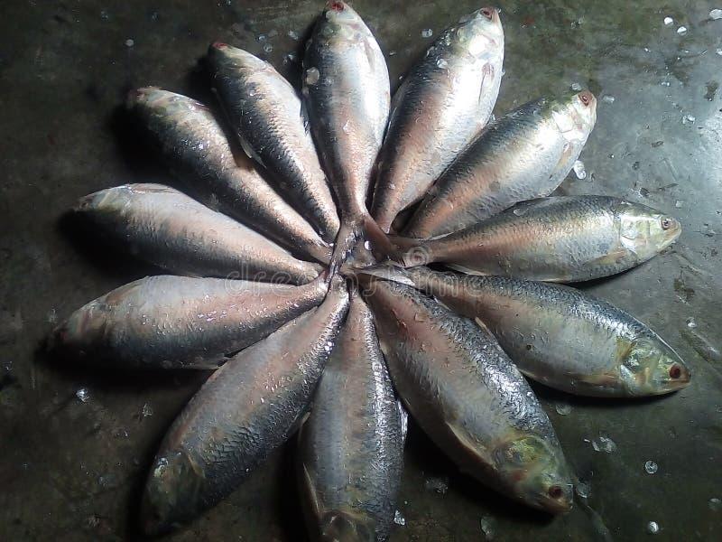 Illisahilsa de vissen van Illis stock foto's
