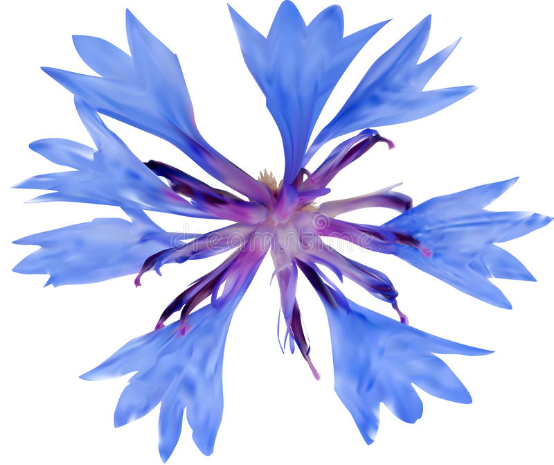Illuatration z pojedynczym błękitnym cykoriowym kwiatem ilustracja wektor