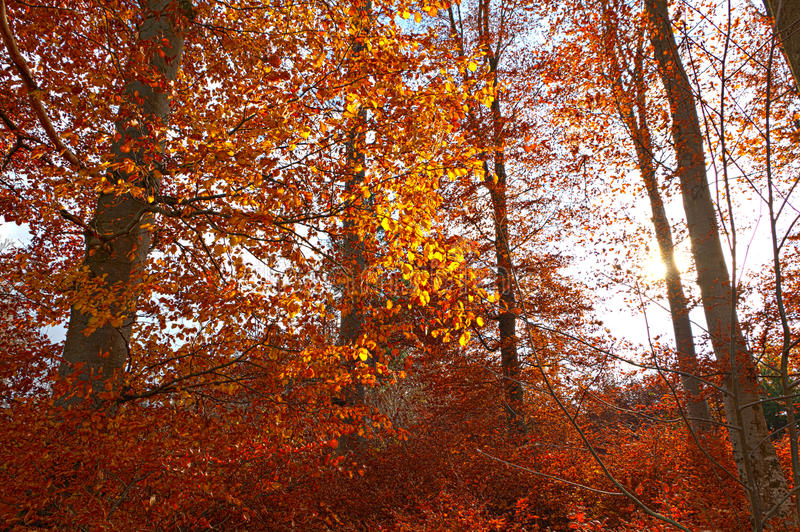 Download Illuminated Golden Autumn Forest Stock Photo - Image: 20506410