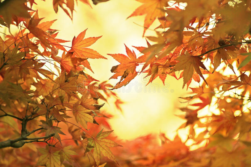 Illuminated golden maple leaves in october. View from below stock images