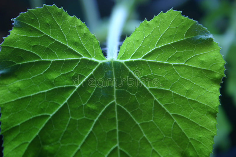 Illuminated leaf stock photography