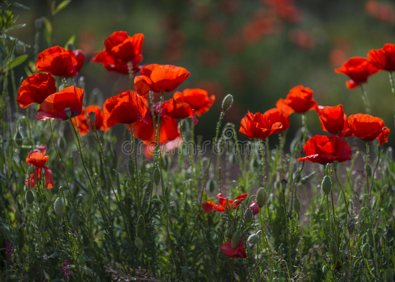 Illuminated red poppies royalty free stock photography