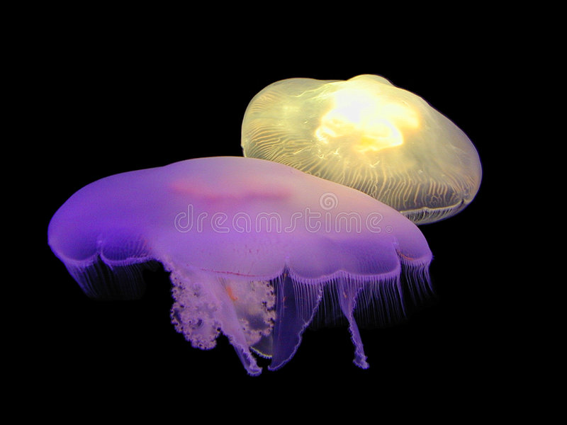 Illuminating Jellies stock photos
