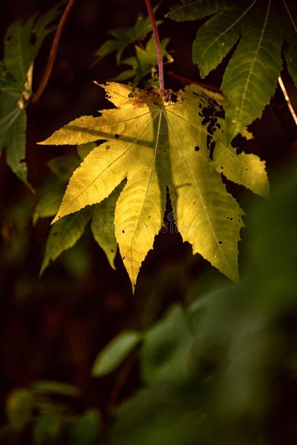 Illuminazione gialla di permesso di autunno fotografie stock libere da diritti