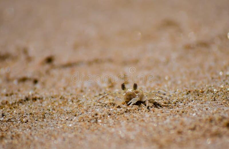 Illusionist crab stock images