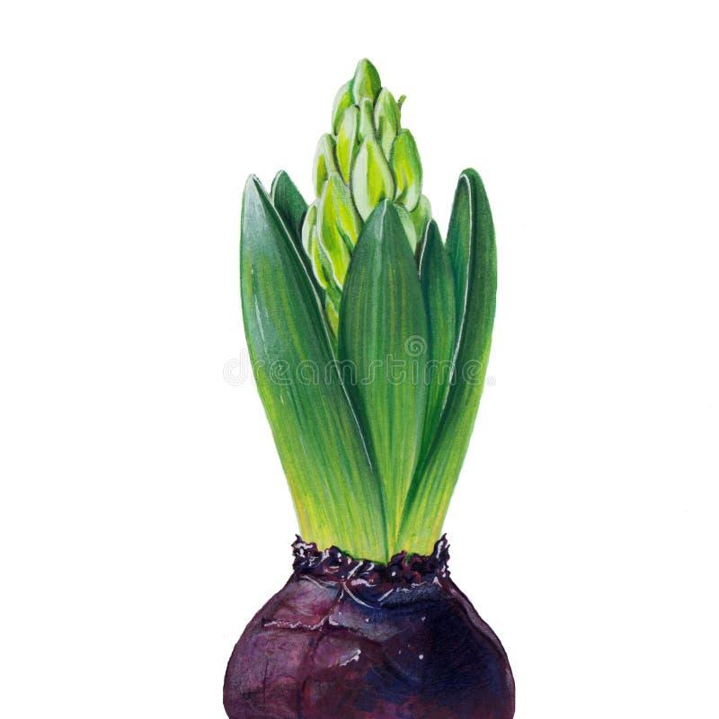 Illustratie met hyacint royalty-vrije stock foto's