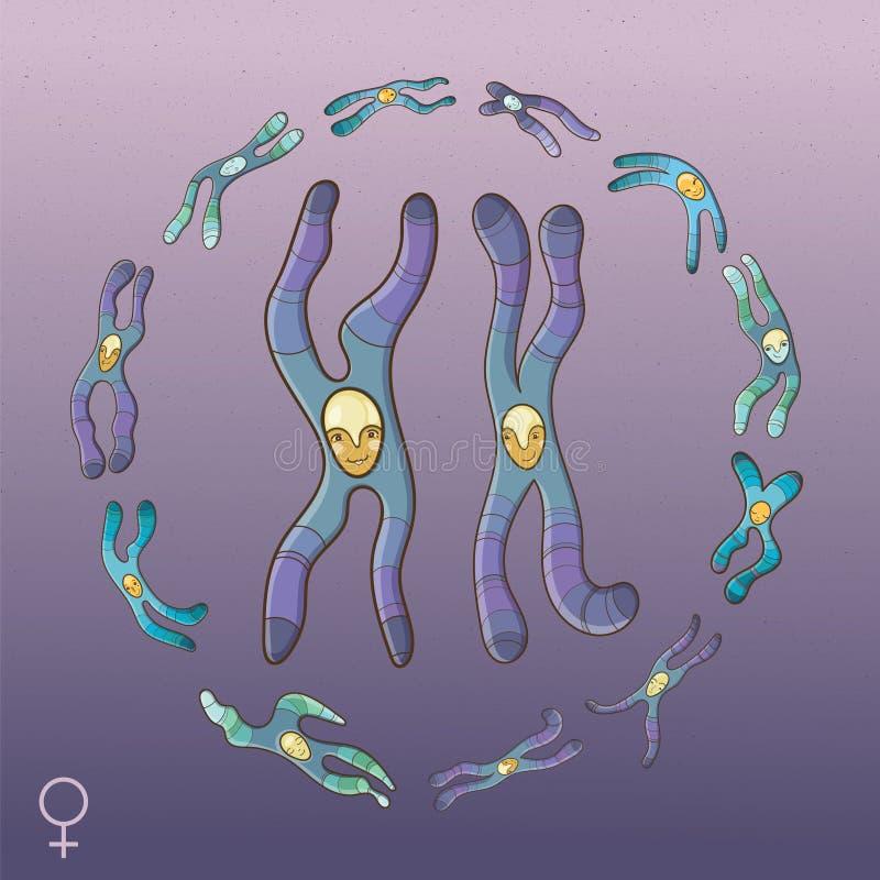 Illustratie van Chromosomen - Vrouwelijk genotype vector illustratie