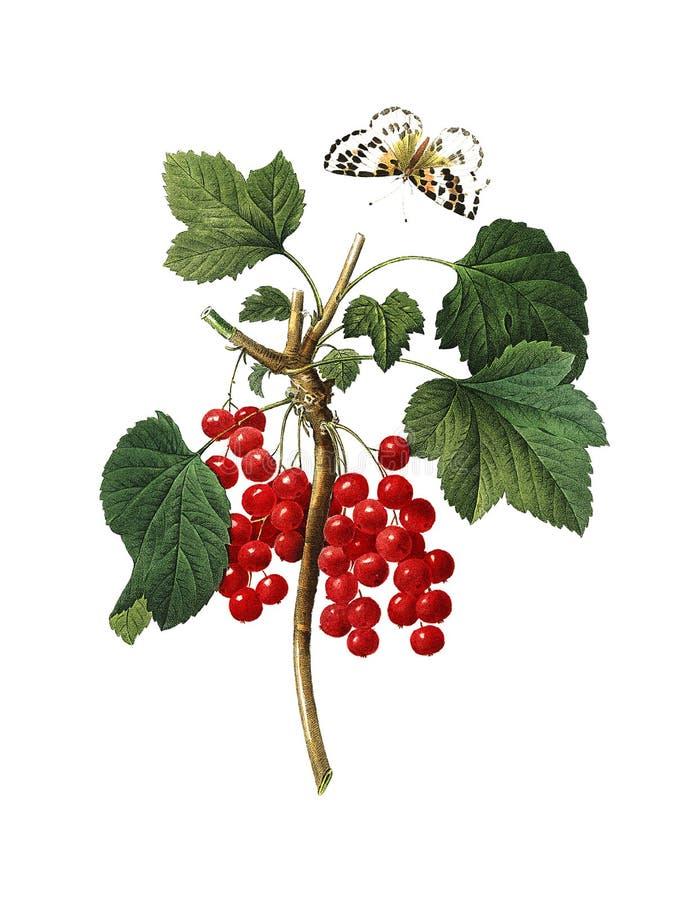 Illustratie van de rode aalbes de Antieke Bloem royalty-vrije stock foto's