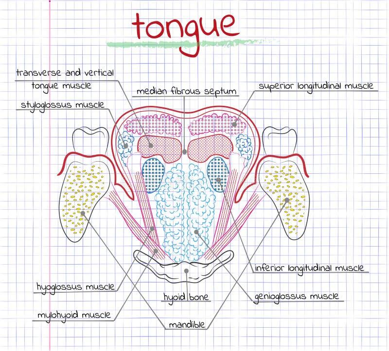 Illustratie van de structuur menselijke tong royalty-vrije illustratie