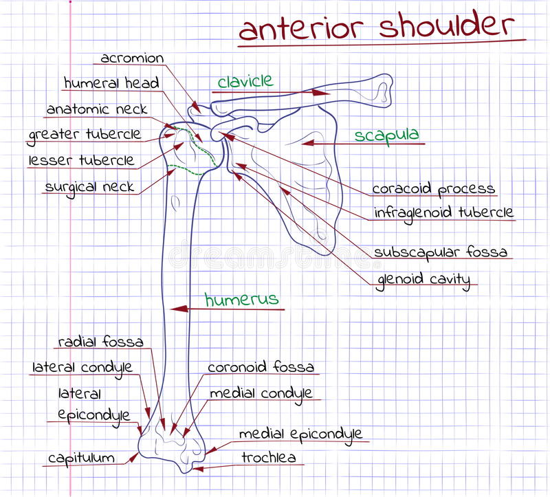Illustratie van de structuur van de menselijke voorafgaande schouder vector illustratie
