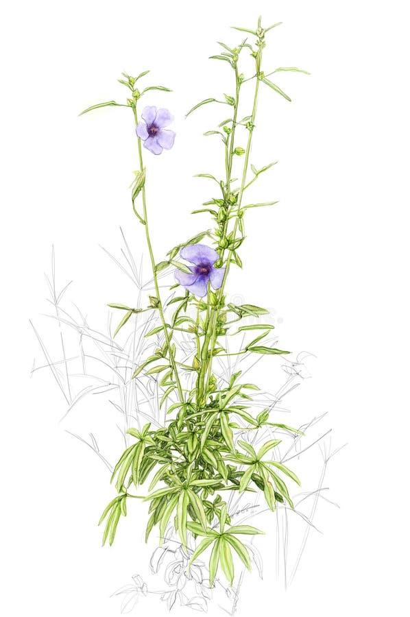 Illustratie van een wildflower royalty-vrije stock afbeelding
