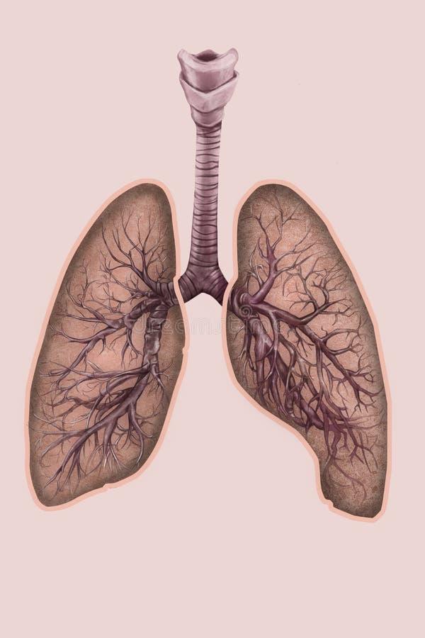 Illustratie van longen met trachee en bronchiën royalty-vrije illustratie