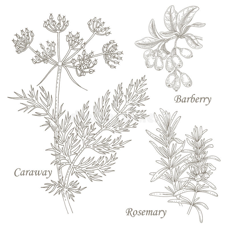 Illustratie van medische kruidenkarwij, berberis, rozemarijn