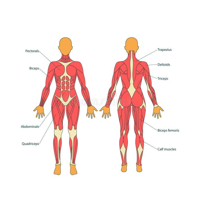 Illustratie van menselijke spieren Het vrouwelijke lichaam Gymnastiek opleiding Voor en achtermening De anatomie van de spiermens stock illustratie
