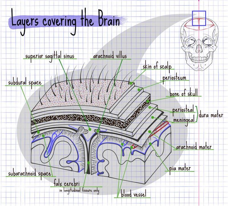 Illustratielagen van de structuur van de menselijke hersenen stock illustratie