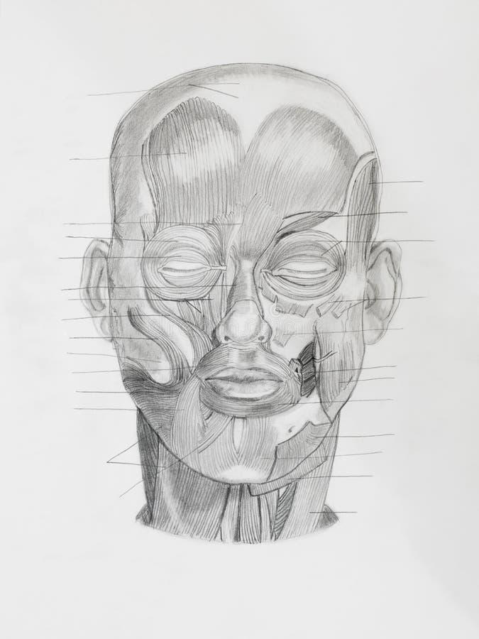 Illustratin disegnato a mano della matita, frontview della testa umana fotografia stock