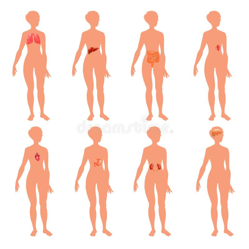 illustration éducative réaliste de vecteur d'affiche de 8 de corps humain d'organe de systèmes d'anatomie de physiologie d'avant  illustration de vecteur