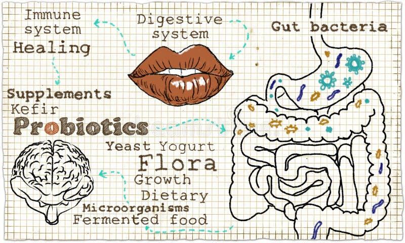 Illustration über Probiotics und das Verdauungssystem lizenzfreie abbildung