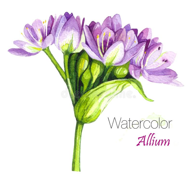 Illustration of Allium,Allium blossoms.Allium Drumstick, also known as sphaerocephalon, produces two-toned,Burgundy-Green flower h stock photography