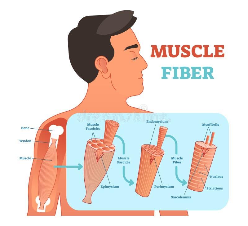 Illustration anatomique de vecteur de fibre musculaire, l'information médicale d'éducation illustration stock
