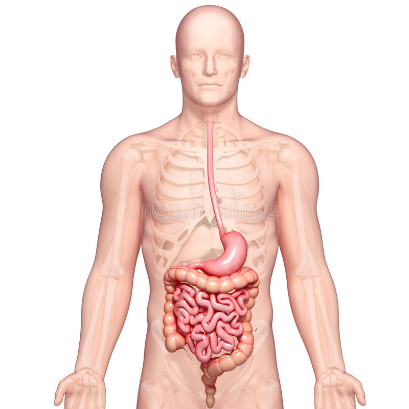 Illustration of anatomy of human stomach with body vector illustration