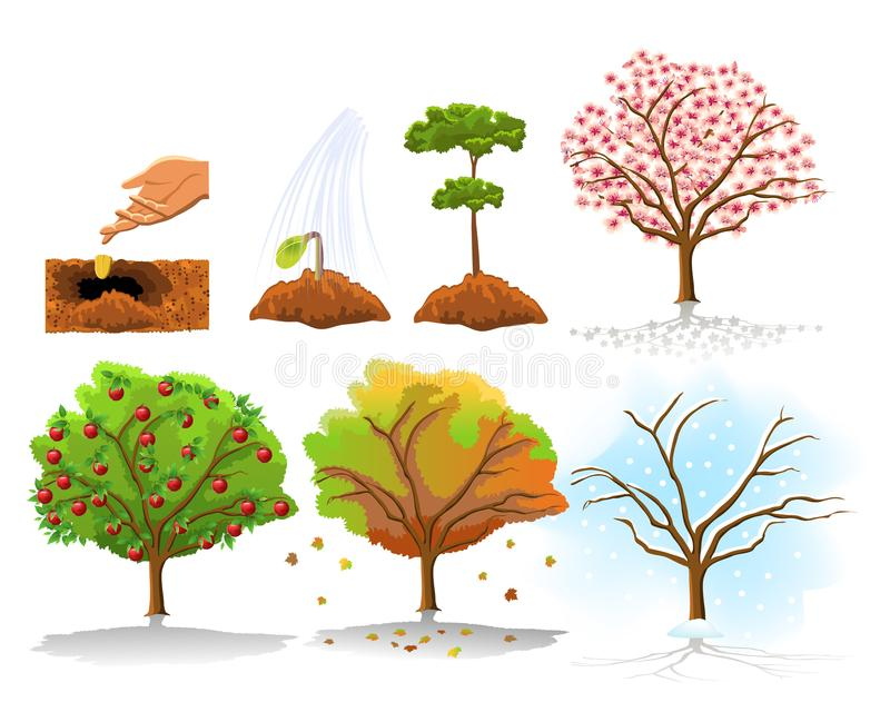 Illustration of apple tree planting and growing stages in the four seasons stock illustration